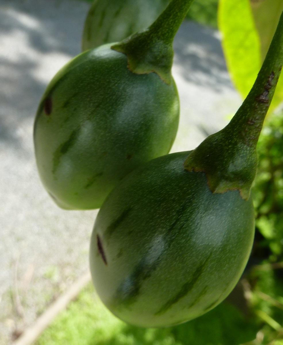 birnenmelone pepino anzucht und pflegeanleitungen exotischer pflanzen vermehrung wachsen z chten. Black Bedroom Furniture Sets. Home Design Ideas